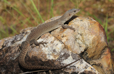 Dwarf monitor lizard or the North Australian lizard (lat. Varanus primordius) is a species of lizard from the family of monitor lizards.