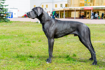 Great Dane waits. The Blue color  Great Dane is on the grass.
