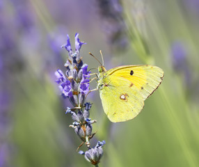 Butterfly Colias croceus