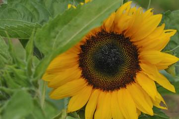 Single Teddy Bear Sunflower off set