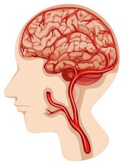 Human brain diagram on white background