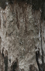 Cutted tree - Beaver's Work