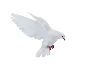 isolated pure white dove