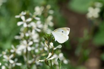 ルッコラの花にとまるモンシロチョウ