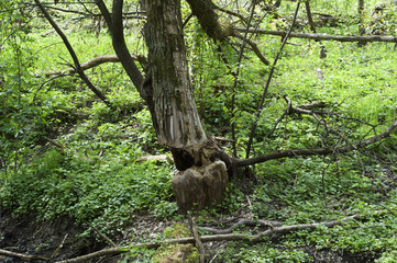Meadow with trees cut down by beavers