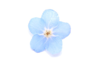 forget-me-nots flowers on a white background