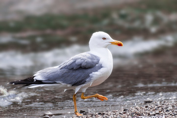 Seagull walking