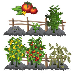 Growth stages of tomatoes, agriculture, vector