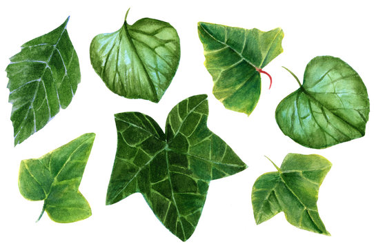 Set of hand painted watercolor leaves (ivy, brunnera, and hydrangea)