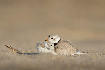 A touching moment as a tiny Piping Plover chick snuggles into its parent on a sandy beach in the early morning sunlight.