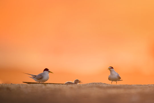 A pair of Least Terns watch their chick as it finished swallowing a fish they just delivered to it on a sandy beach with a colorful orange sunrise behind them.