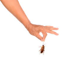 Men hand holding brown cockroach on white background