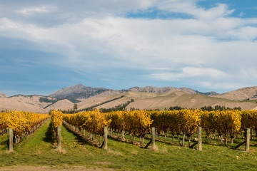 Wall Murals Vineyard New Zealand vineyard in autumn with copy space