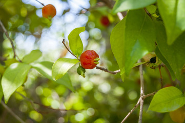 Pitanga (Suriname cherry, Brazilian cherry or Cayenne cherry) stock image
