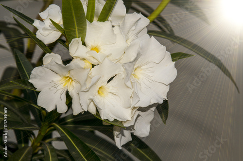 Detail Of White Oleander Flowers Stock Photo And Royalty Free