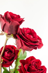 Red roses bouquet on white background