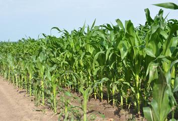 Corn field. Cornfield.