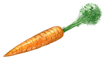 Hand drawn watercolor illustration of fresh orange ripe carrots. Isolated on the white background