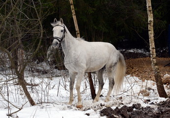 White horse in a forest near Moscow.