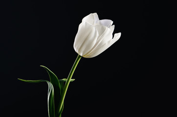 single white tulip on a black background. horizontal. space for
