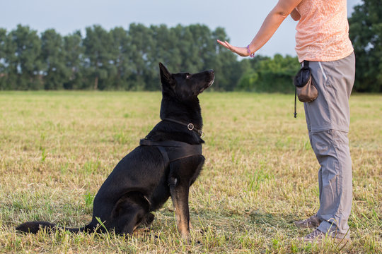 Black German Shepherd training (Sit command)