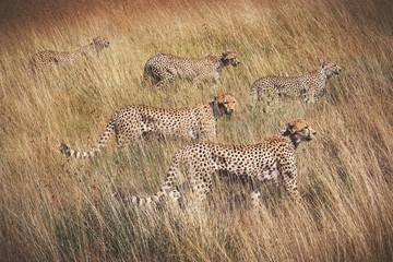Family of cheetahs on the hunt . Serengeti National Park . Tanza