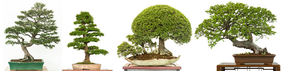 Canvas Prints Bonsai Bonsai Baum als Ulme aus China (Ulmus parvifolia) im Panorama