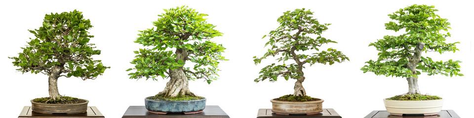 Buche und Hainbuche als Bonsai Baum weiss freigestellt.