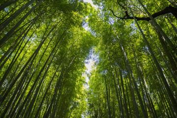 green bamboo forest with sunlight , Japanese Bamboo forest, Natu