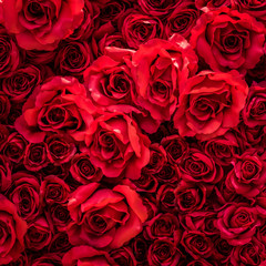 Red roses flower background.
