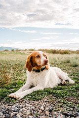 Dog lying down on grass looking away