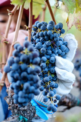 Person picking bunch of grapes from grapevine