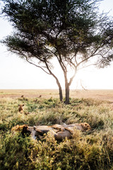 Lionesses keeping watch over sleeping lions
