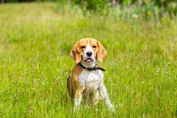 Beagle dog sitting in grass