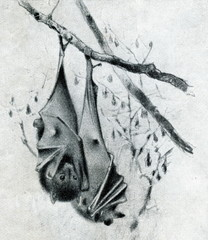 Black-eared flying fox (Pteropus melanotus) from Brehm's Animal Life, 1927