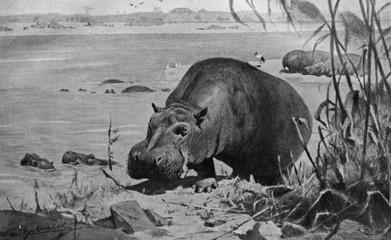 Hippopotamus (Hippopotamus amphibius) from Brehm's Animal Life, 1927