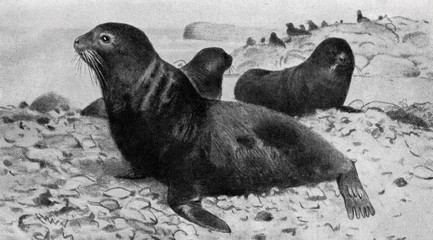 Northern fur seal (Callorhinus ursinus; Otaria ursina) from Brehm's Animal Life, 1927