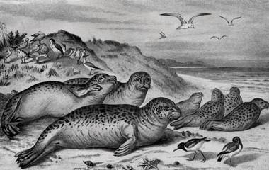 Harbor seal (Phoca vitulina) from Brehm's Animal Life, 1927