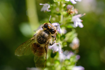 Bee collecting pollen from thyme flowers. macro photography