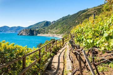Poster Ligurie Path in vineyards, beautiful view of the sea