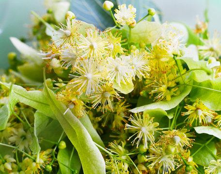 Linde - Tilia, Lindenblüte im Juni - Sammeln von Lindenblüten für Lindenblütentee, Hausmittel gegen Erkältungen und Erkältungskrankheiten