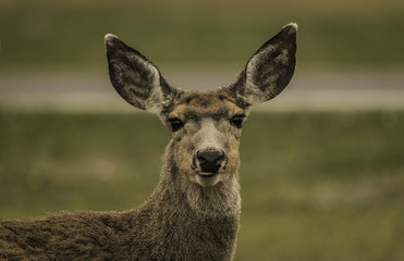 closeup face of deer in Yellowstone National park