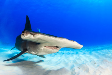 Great hammerhead shark swimming over the sand looking for food