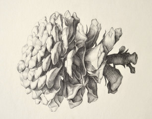 Pine cone. Nature study. Pencil hand drawing