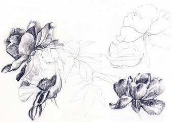 Peonies. Hand drawn realistic sketch of flowers. Nature study. Graphite pencil on paper