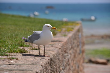 Grey Herring Seagull, Jersey, U.K.  Telephoto image of a coastal seabird, with the focus concentrated on the bird and the scenery out of focus.