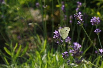 Cabbage white butterfly on lavender flowers