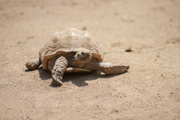 Wrinkled African Spurred Tortoise moving across the dirt.