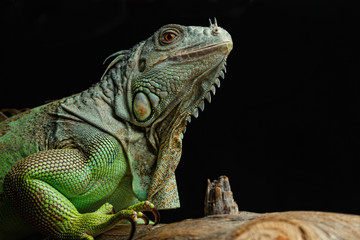 Green Iguana on branch
