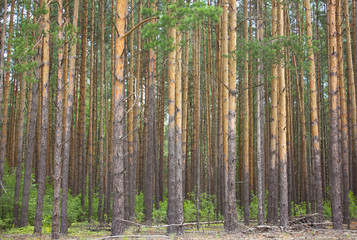 Pine-tree forest
